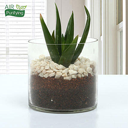 Aloe Vera Glory Terrarium: Terrariums Plants