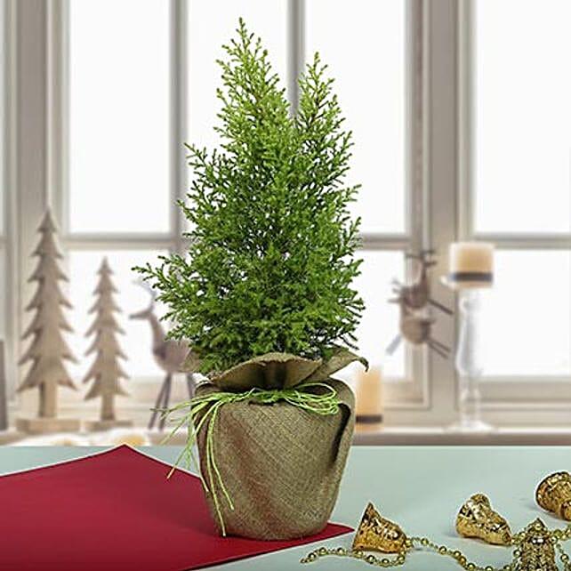 Amazing Cyprus Plant: Christmas Trees & Poinsettias