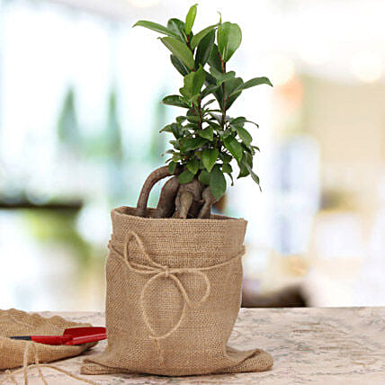 Amazing Ficus Microcarpa Plant: Premium Gifts