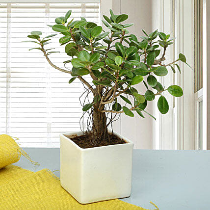 Attractive Ficus Iceland Bonsai Plant: Bonsai Plants