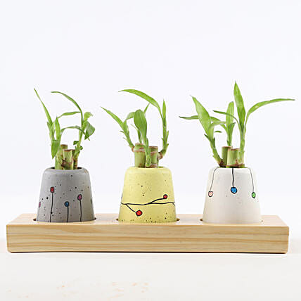 Bamboo Sticks In Mini Anar Concrete Pots: Bamboo Plants
