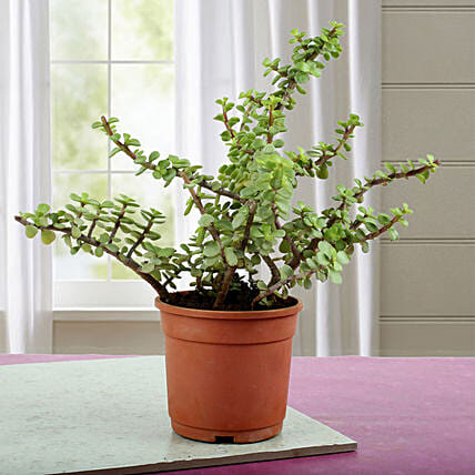 Beautiful Jade Plant: Best Outdoor Plant