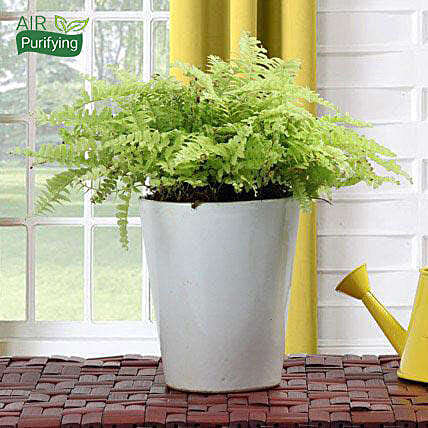 Boston Fern Potted Plant: Indoor Plants