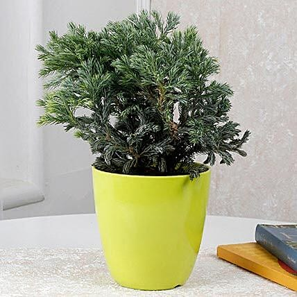 Bushy Juniper Plant: