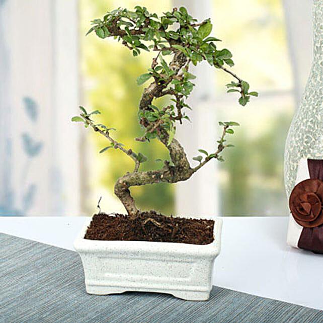 Charming Carmona S Shape Bonsai Plant: Best Outdoor Plant