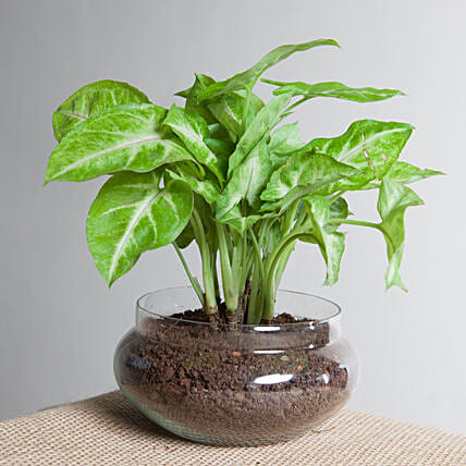 Classic Syngonium Golden Plant Terrarium: Good Luck Plants