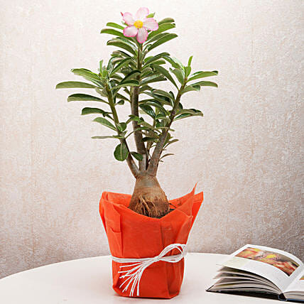 Desert Rose Adenium Plant: Flowering Plants