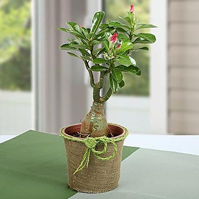 Desert Rose Beautiful Plant: Outdoor Plants