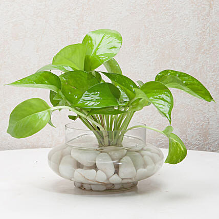 Divine Money Plant Terrarium: Desktop Plants