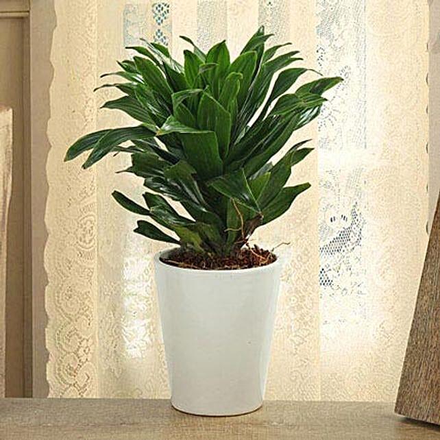 Dracaena Compacta Plant: Ornamental Plant Gifts