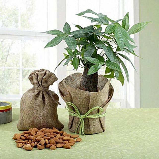 Dry Fruits N Pachira Bonsai: Plant Combos