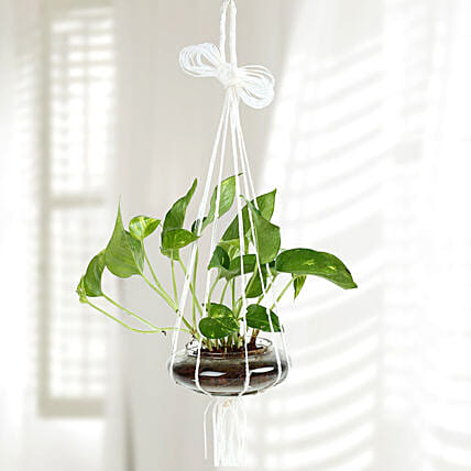 Evergreen Hanging Money Plant Terrarium: Terrariums Plants
