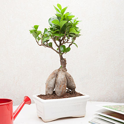 Exotic Ficus Bonsai Plant: Desktop Plants