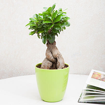 Exotic Ficus Ginseng Bonsai Plant: Tropical Plant Gifts