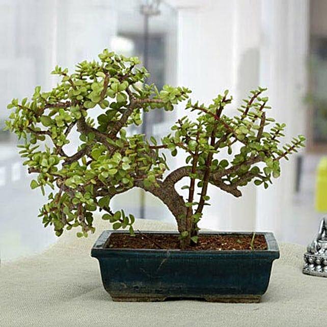 Fabulous Jade Bonsai Plant: 25Th Anniversary Gifts