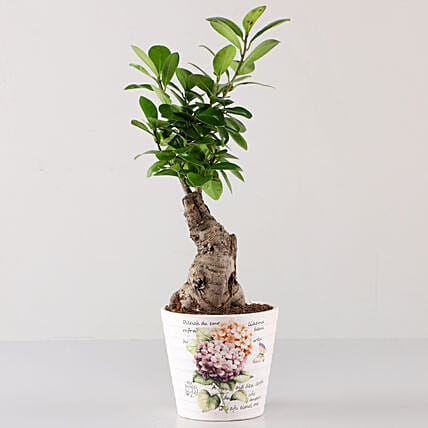Ficus Bonsai In Lavender Découpage Planter: Buy Indoor Plants