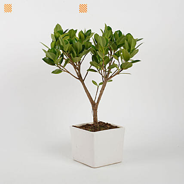 Ficus Longisland Bonsai Plant in White Ceramic Pot: