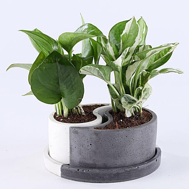 Foliage Plants Combo In Yin Yang Concrete Pots:
