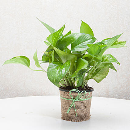 Gift Money Plant for Prosperity: Plants Delivery