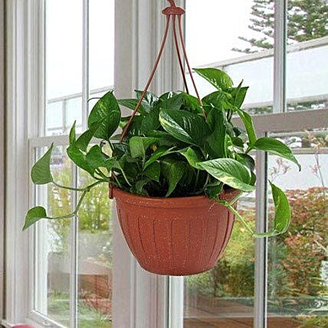 Go Green With Money Plant: Spiritual Plant