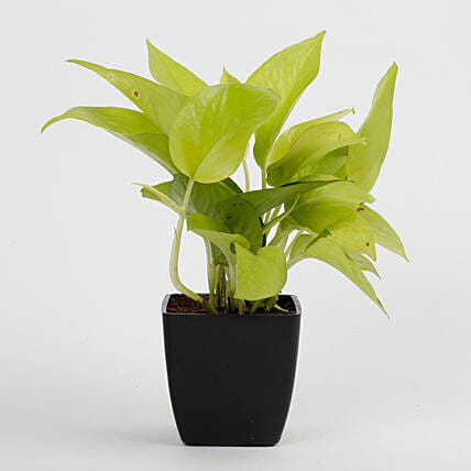 Golden Money Plant in Black Imported Plastic Pot: Tropical Plant Gifts