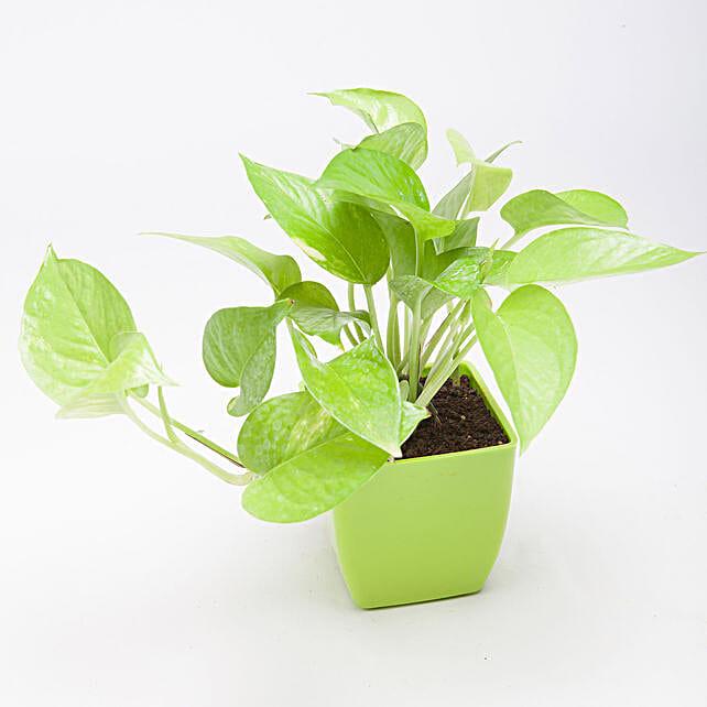Golden Money Plant in Green Plastic Pot: Outdoor Plants