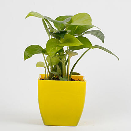 Golden Money Plant in Imported Plastic Pot: Indoor Plants