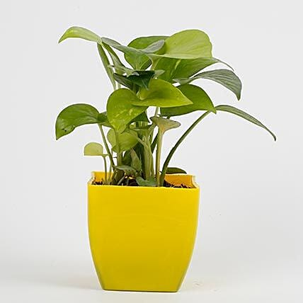 Golden Money Plant in Imported Plastic Pot: Good Luck Plants - Friendship Day