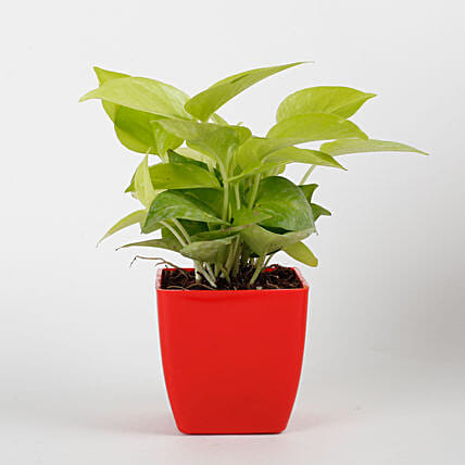 Golden Money Plant in Red Imported Plastic Pot: Money Tree