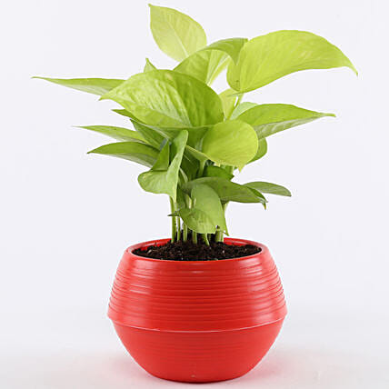 Golden Money Plant In Red Pot: Gift Ideas