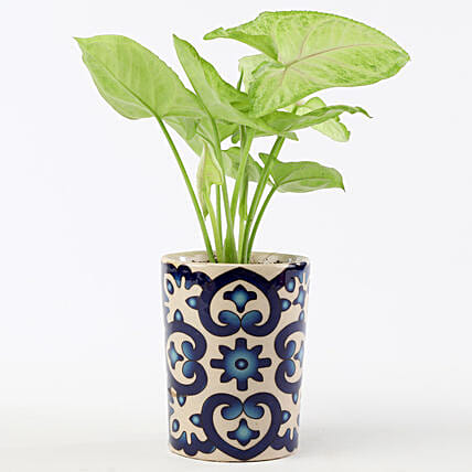 Golden Syngonium In Blue Ceramic Pot: 1St Anniversary Gifts
