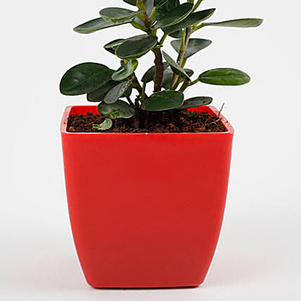 Gorgeous Ficus Compacta Plant: Tropical Plants
