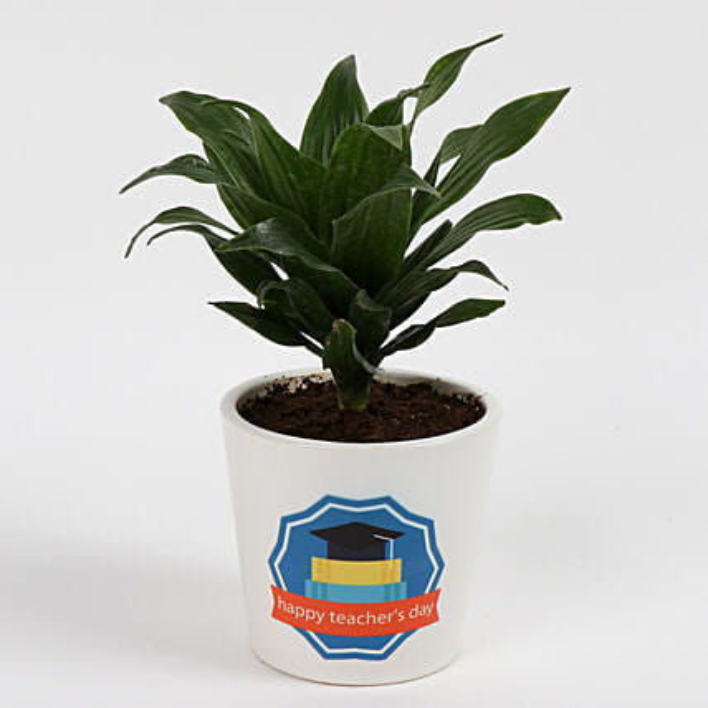 Green Dracaena Compacta Plant: Send Shrubs