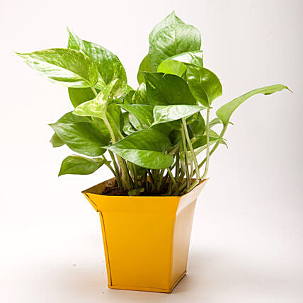 Green Money Plant in Bucket Shaped Metal Pot: Pots for Plants