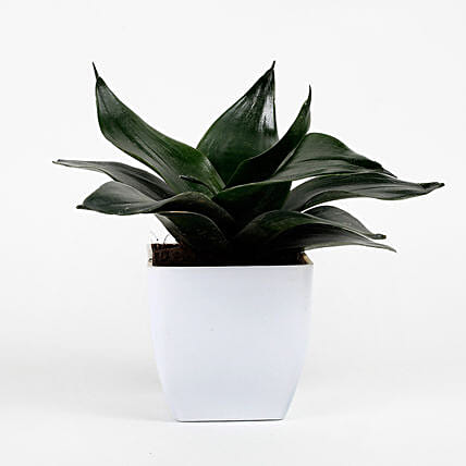 Green Sansevieria Plant In White Imported Plastic Pot: Air Purifying Plants