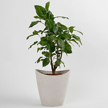 Hibiscus Plant in White Half Moon Recycled Plastic Pot: Succulents and Cactus Plants