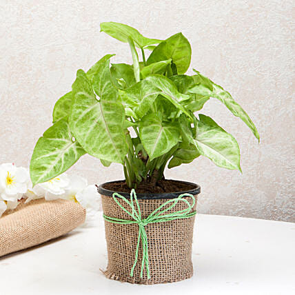 Hue of Green Syngonium Plant: Tropical Plant Gifts