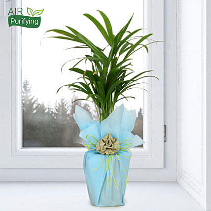 Impressive Areca Palm: Buy Indoor Plants