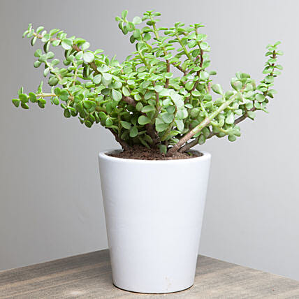 Lively Jade Plant: Home Decor Anniversary Gifts