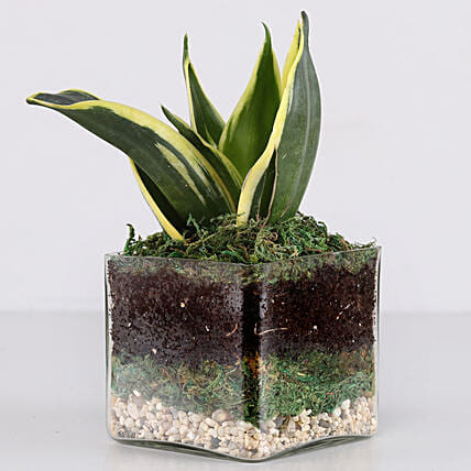"Lotus Sansevieria Plant 3"" Glass Terrarium: Terrariums Plants"