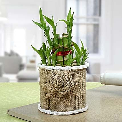 Lucky Bamboo Plant For Mom: Exotic Plant Gifts