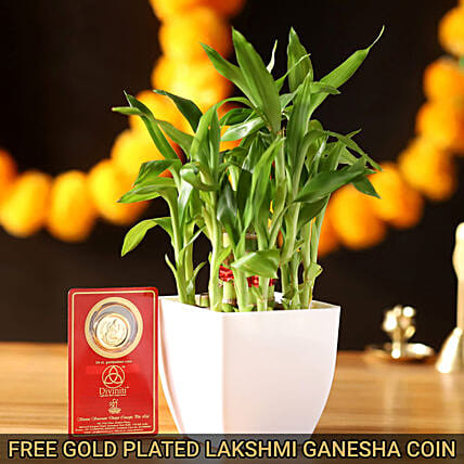 Lucky Bamboo With 24 Carat Gold Plated Coin: Diwali Gifts for Boyfriend