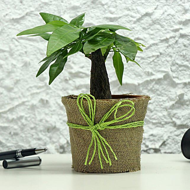 Lucky Money Tree: Money Plant