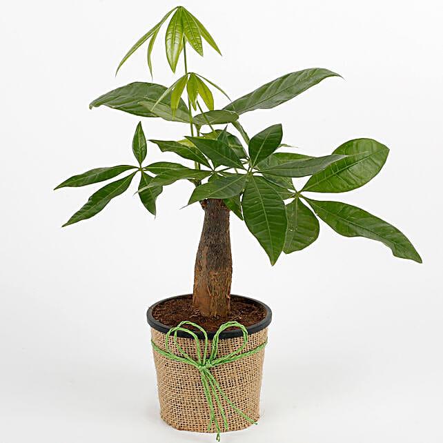 Lucky Pachira Bonsai Plant: Best Outdoor Plant