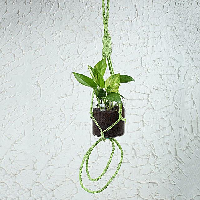 Lush Money Plant Terrarium: Hanging Plants