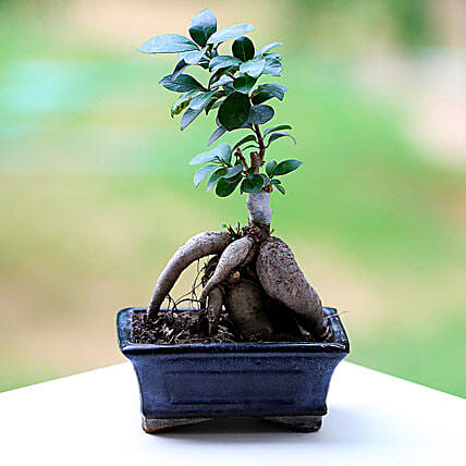 Marvellous Ficus Microcarpa Plant: Gifts to Brooke Fields