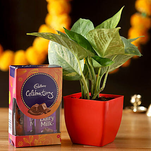 Money Plant & Cadbury Celebrations Combo: Best Outdoor Plant