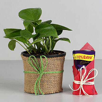 Money Plant in Black Pot with Cadbury Dairy Milk: