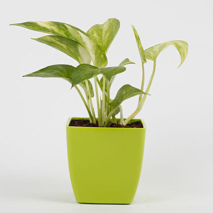 Money Plant in Imported Plastic Pot: Money Tree