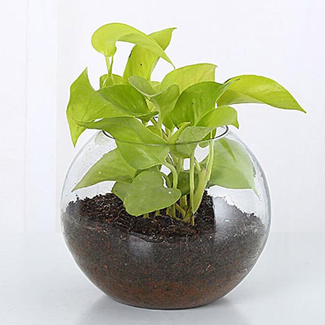 Money Plant Terrarium: Doctors Day Gifts